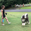 Henrythesheepadoodle and Mom Taking a Walk With Coastal Power Walker Retractable Dog Leash