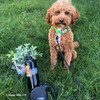 Kona going for a walk with Power Walker Retractable Dog Leash