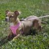 Coastal Pet Comfort Soft Adjustable Dog Harness Personalized Bright Pink
