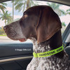 Handsome Hank The GSP looks super handsome and ready for fun in his Coastal Pet Adjustable Nylon Dog Collar With Metal Buckle Personalized collar - shown in lime