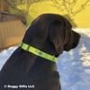 Finn wearing Coastal Pet Martingale Buckle Adjustable Nylon Dog Collar Personalized (66407E) in lime
