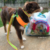 Aspen is ready for a walk wearing his Coastal Pet Pro Reflective leash attached to matching harness