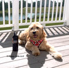 Mylo looks great in his Coastal Pet Ribbon Harness