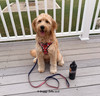 Mylo loves his Coastal Pet Ribbon Dog Leash