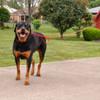 Coastal Pet Loops 2 Double Handle Nylon Dog Leash Red On Dog