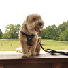 Coastal Pet Walk Right ! Front-Connect Padded Dog Harness On Cute Dog