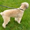 Coastal Pet Bungee Dog Leash on Dog Walking