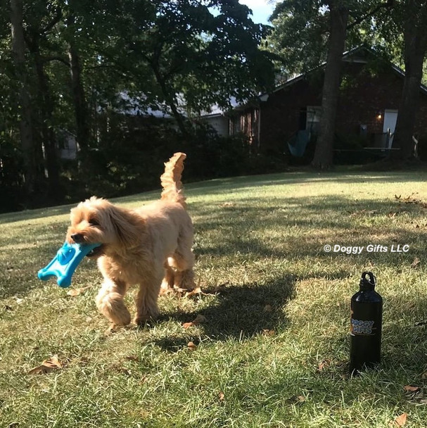 Miller loves to carry his Coastal Pet Pro Fit Flying Jack Dog Toy