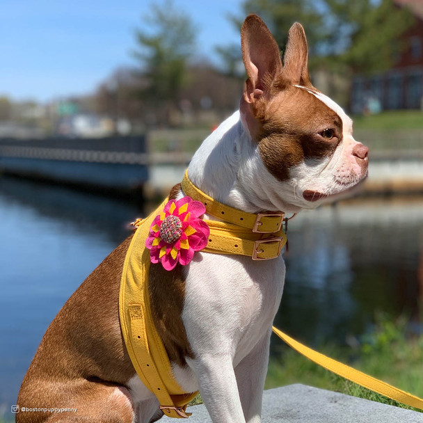 Stunning wearing Coastal Pet Accent Microfiber harness on dog vintage yellow with flower