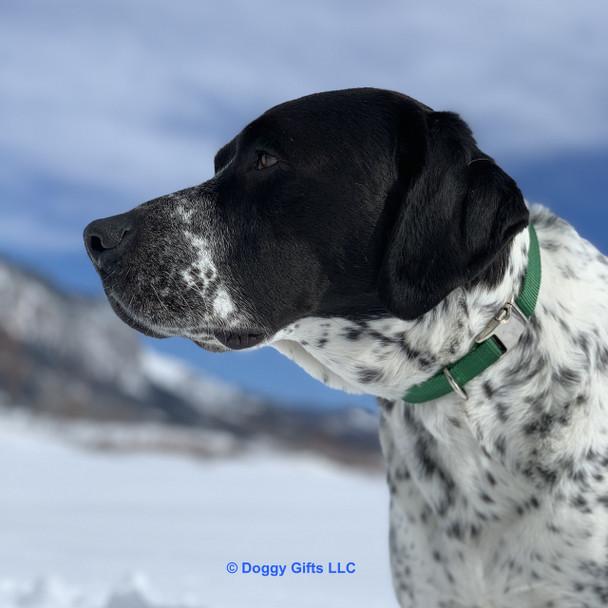 Oliver wearing his Coastal Pet Metal Buckle Adjustable Nylon Dog Collar (61401) in Hunter HUN Green