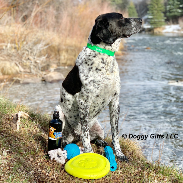 Oliver Playing With His Pro Fit Dog Toys and Coastal Pet Pro Waterproof Standard Dog Collar Personalized (4611E)