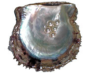 Nacre is the inner layer of Akoya's shell and the outer coating of the pearl itself.