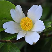 Camellia oleifera is mainly used for making edible cooking oil. It is widely grown in China
