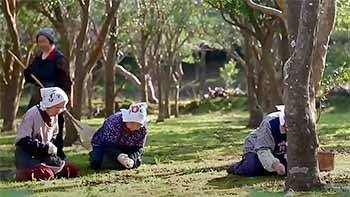 Women  collecting Camellia seeds by hand after they have fully matured in autumn.