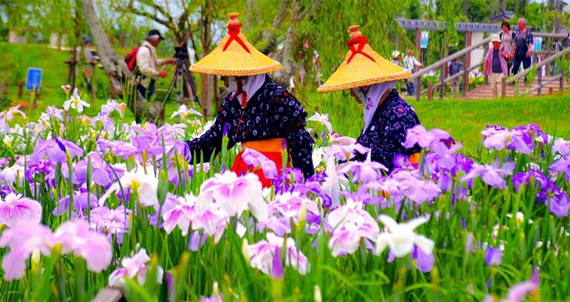 vivid ayame irises and Japanese women