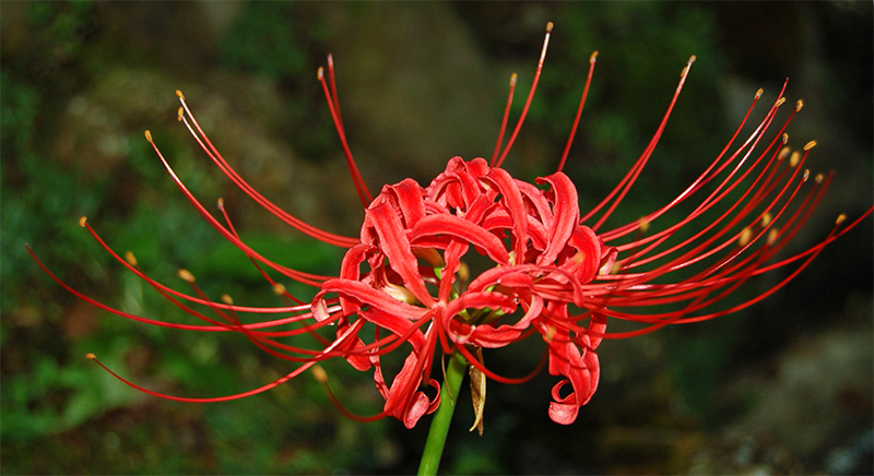 Other-worldly looking higanbana (red spider lily)