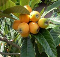 produces juicy tangerine-color fruits with a delicate flesh and pleasantly tart taste