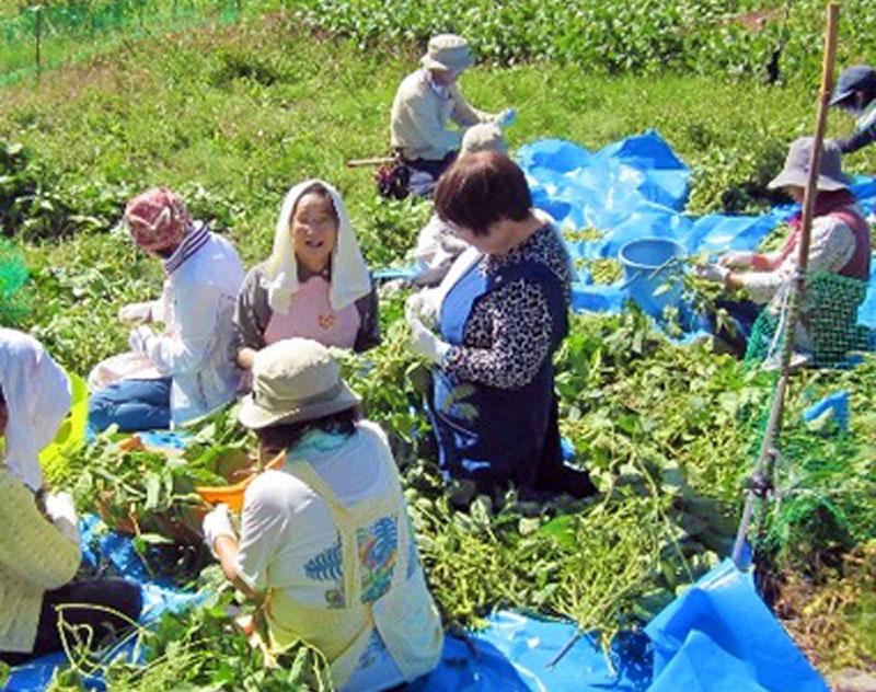Japanese women harvesting wild herbs