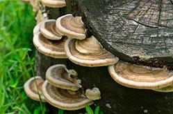 Wild saru-no-koshikake (Ganoderma applanatum) mushrooms