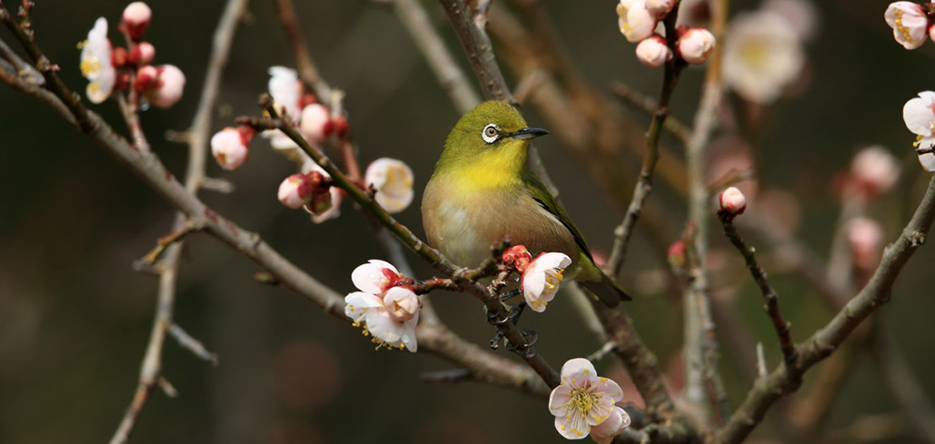 Mejiro (white eye) and plum blossoms in early spring