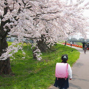 Japanese girl walking to school under cherry blossoms