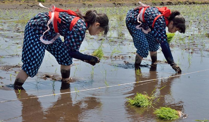 Japanese women planting rice