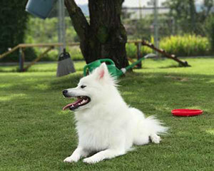 Yuki (my 2-year-old Japanese Spitz)