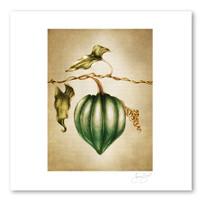Prints : Acorn Squash, 11X14 Unframed