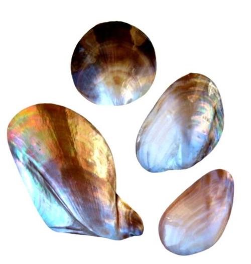 Whole Polished Shell