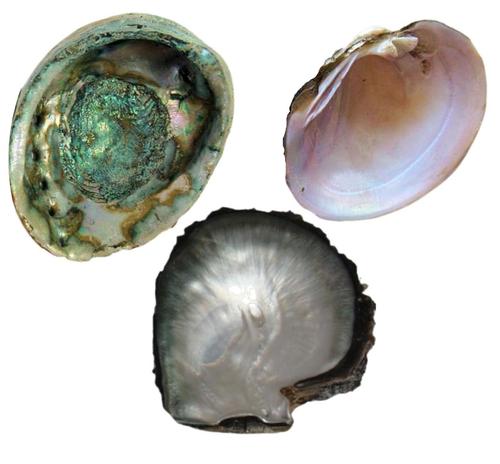 Whole Raw Shells
