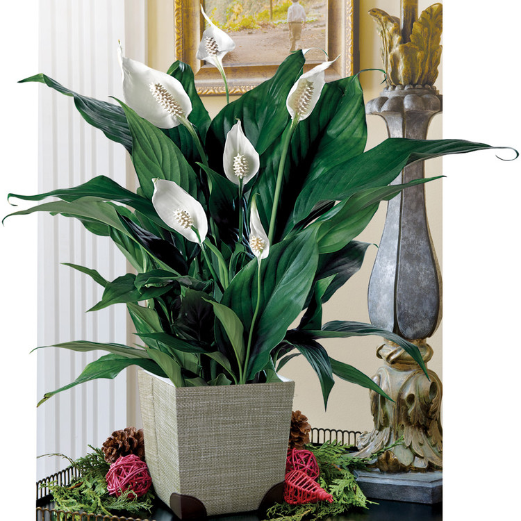 Peace Lily Care - the common house plant - Beat Your Neighbor on house plant banana, house plant candy cane, house plant dracaena, house plant sage, house plant caladium, house plant vinca, house plant fern, house plant strawberry, house plant datura, house plant dogwood, house plant asparagus, house plant cyclamen, house plant ivy, house plant azalea, house plant lime, house plant orchid, house plant ylang ylang, house plant eucalyptus, house plant thyme,