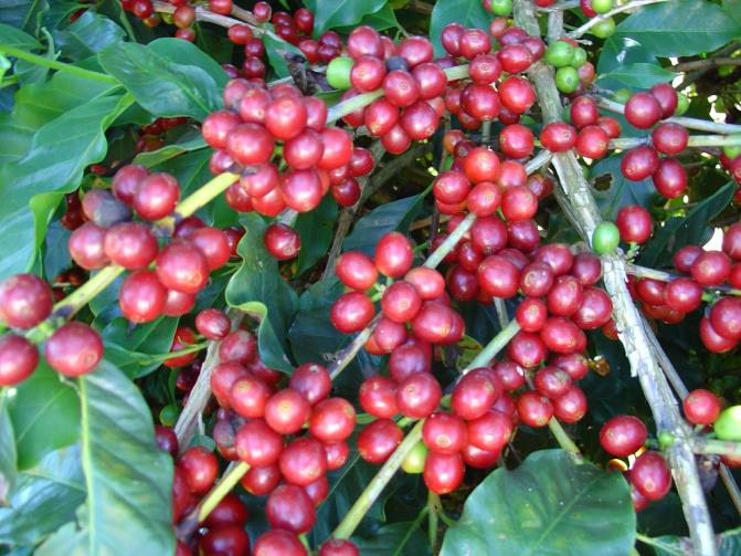 The skin of the coffee bean cherry then turns to a bright red.