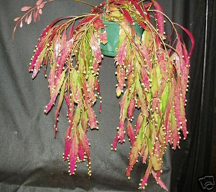 Red Mistletoe Cactus