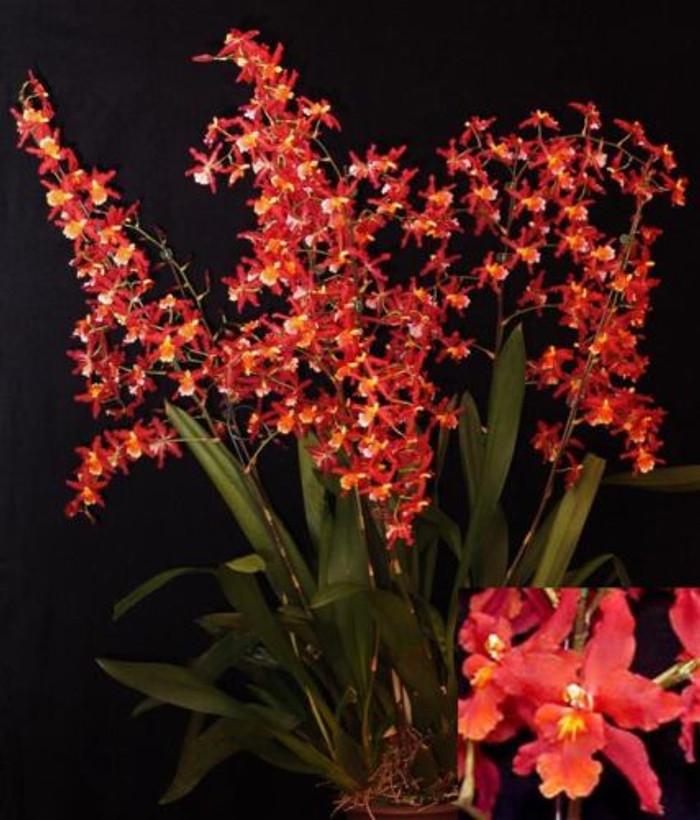 Oncidium Pacific Panache 'Fireside Fever'
