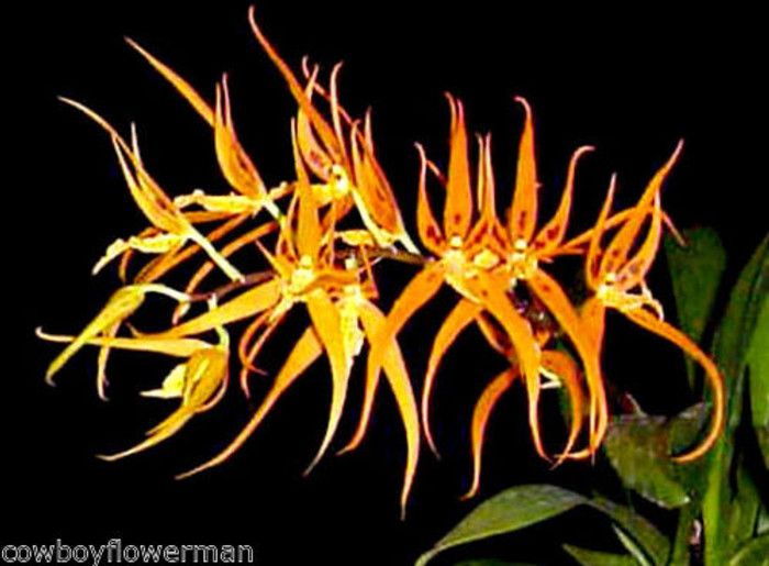 Brassia Orange Delight 'Hilo Sunrise'