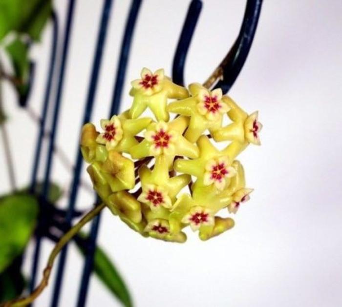 Hoya neocaledonica