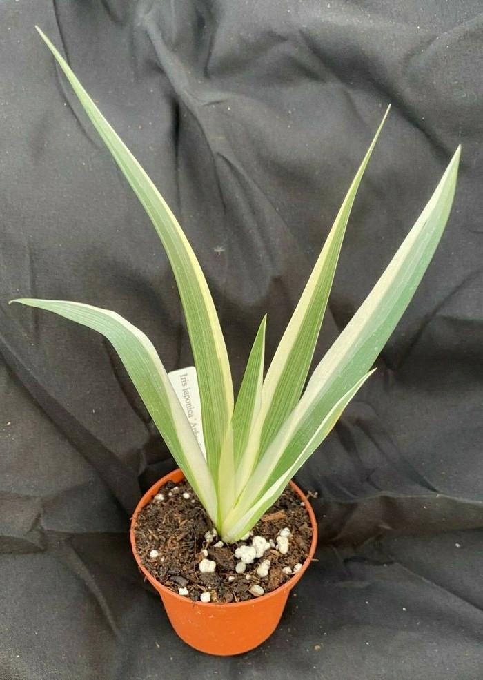 Iris japonica 'Aphrodite'