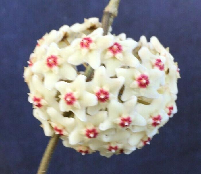 Hoya carnosa 'Snowball'
