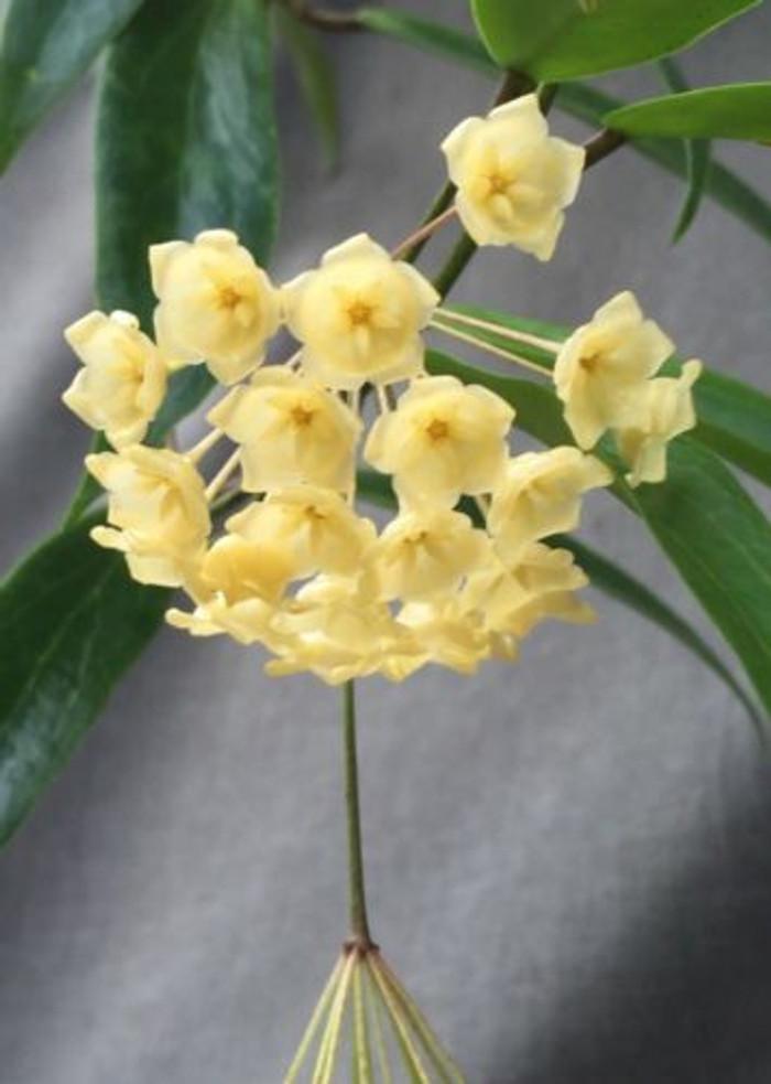 Hoya blashernaezii