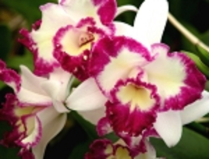 Cattleya Nice Holiday 'Suntopia'
