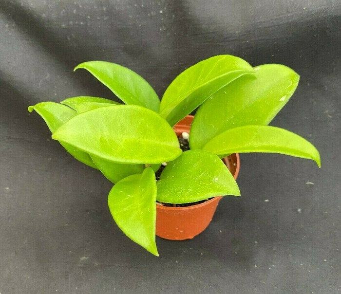 Hoya carnosa 'Jade'