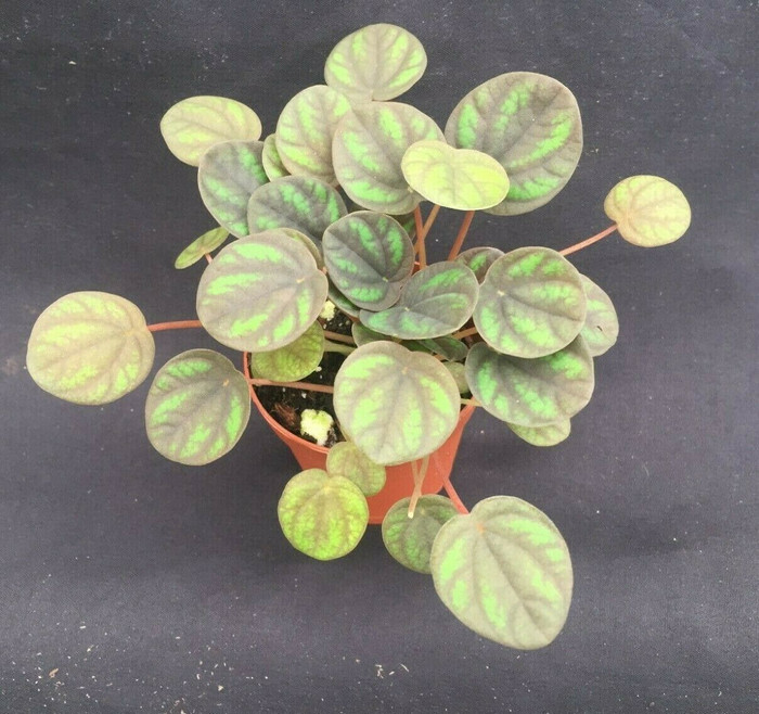 Peperomia Peppermill