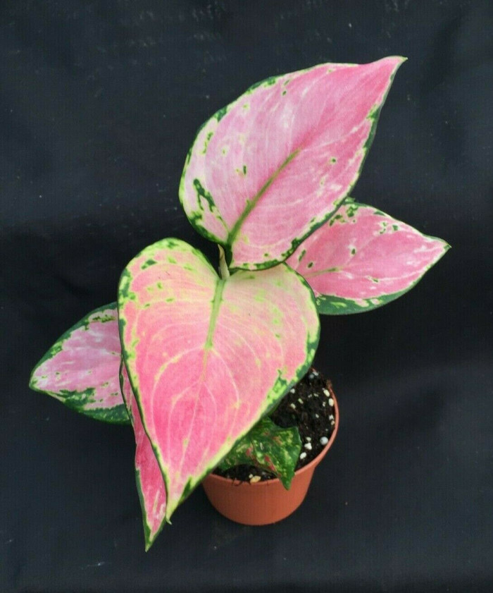 Aglaonema 'Favonian'