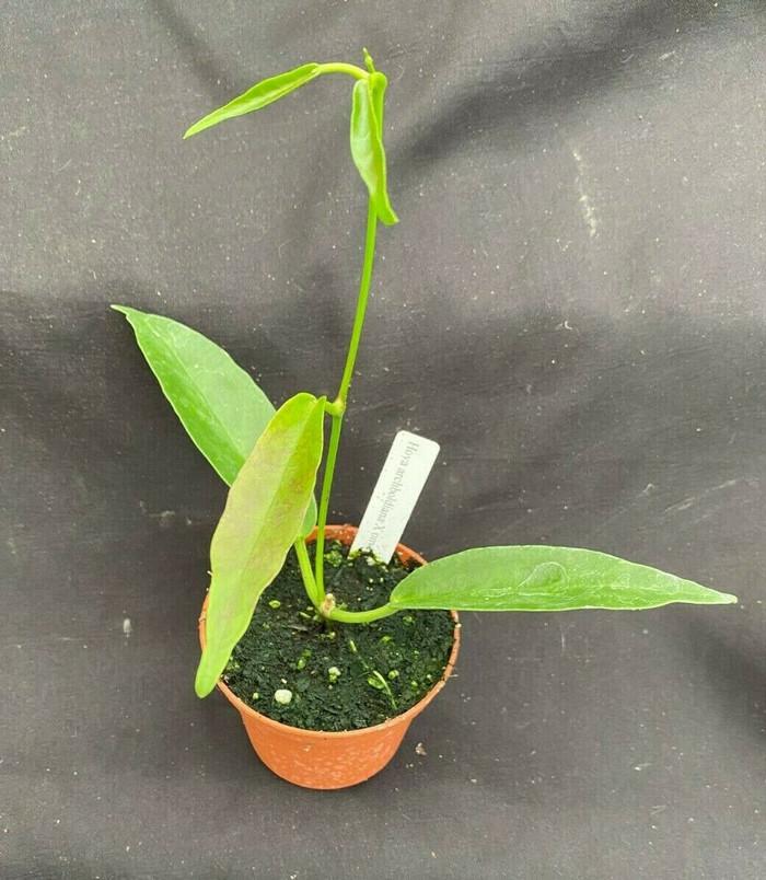 Hoya archboldiana X Hoya onychoides