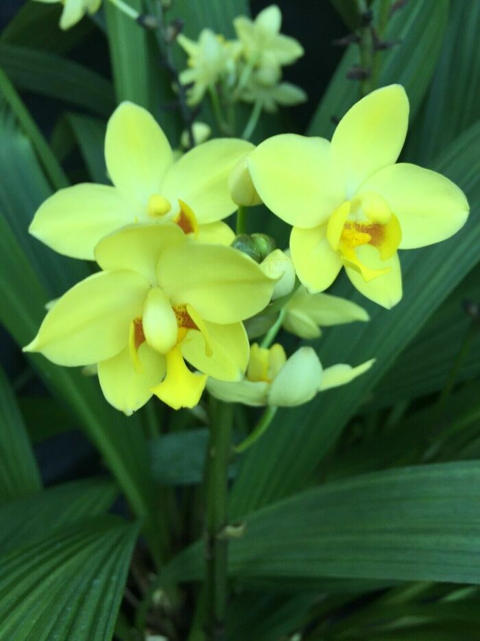 Spathoglottis plicata 'Lemon Kiss'