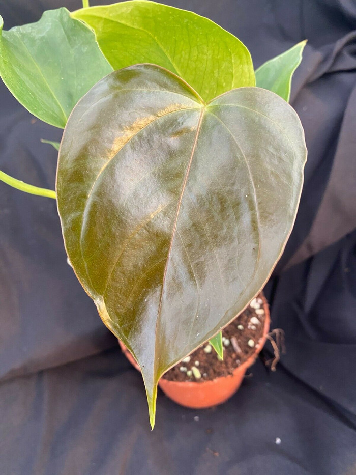 Anthurium Red Leaf
