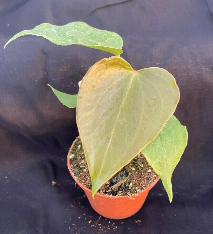 Anthurium 'Oaxaca'
