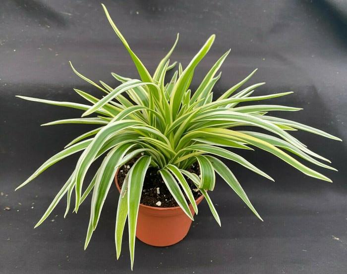 Chlorophytum comosum 'Variegata Compacta'