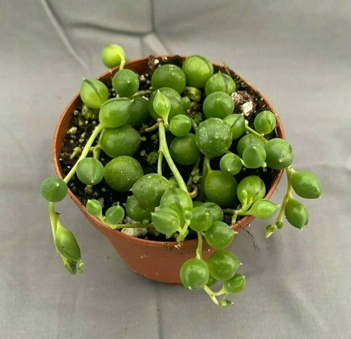 Senecio rowleyanus,  The String of Pearls