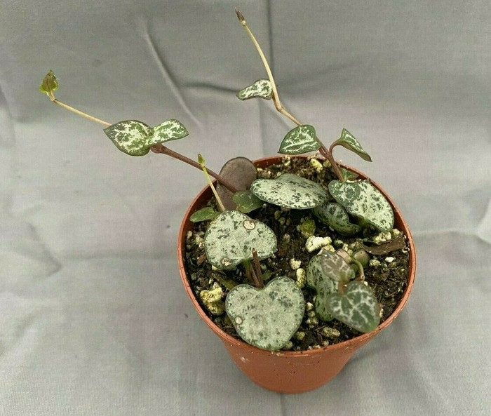 Ceropegia woodii,  String of Hearts